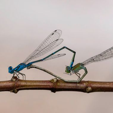 Zygoptera in Johor, after a shower