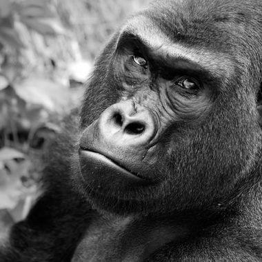 Gorilla-BW-C