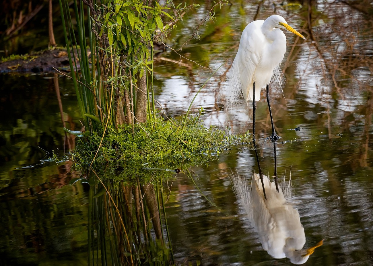 Reflections of a White Crane