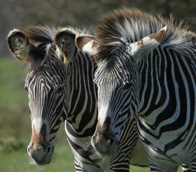 Grevys Zebras