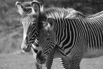 Zebras in Black & White