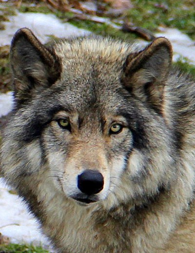 Timber wolf up close and personal.