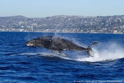 Levitating Humpback Whale