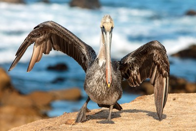 Brown Pelican ready to fly