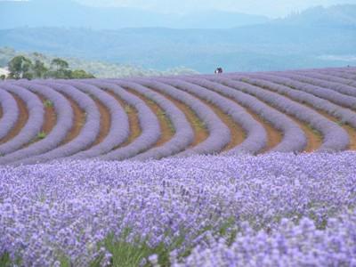 Bridestowe Lavender Farm, NE Tasmania