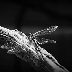 HDR BW dragonfly