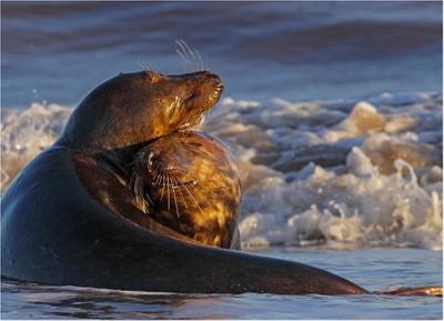 Grey seals in love