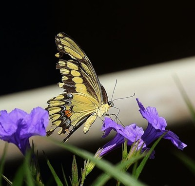 A butterfly, drinking from the Mexican Petunias