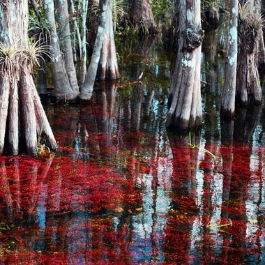 Due to a cold snap, the water pants in Big Cypress National Preserve turned red.
