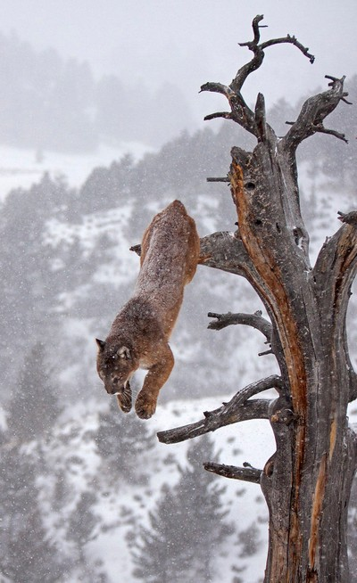 Cougar leaping off tree