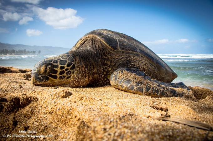 Sea Turtle in Hawaii by cnsmerz - Above Or Below Photo Contest