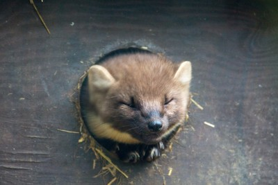 Constipated Weasel