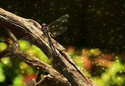 dragonfly - mystical edit