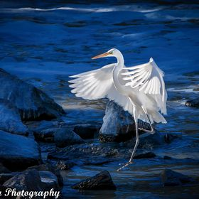An egret that has lost one of its feet yet still manages to get things done and survive very well.