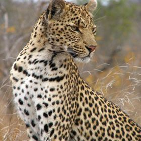 Taken at Mala Mala Main Camp in South Africa. She posed for us while our Landrover was parked right next to her.