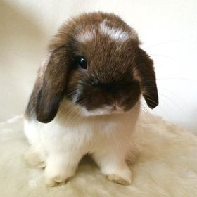 My sweet boy Beau (Bobo) who I recently rescued. He's a Dwarf Holland Lop who's as sweet as he looks.