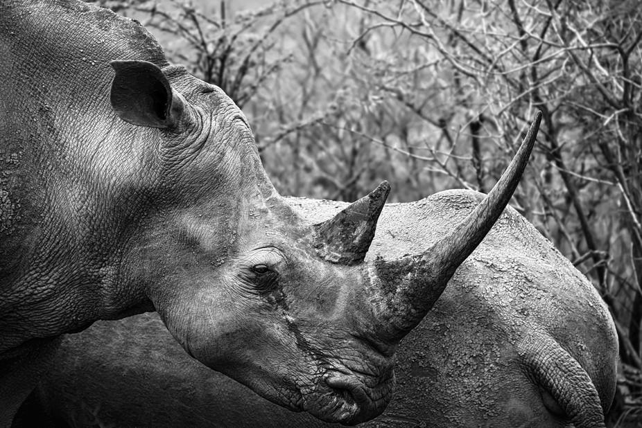 (BW) - Rhino