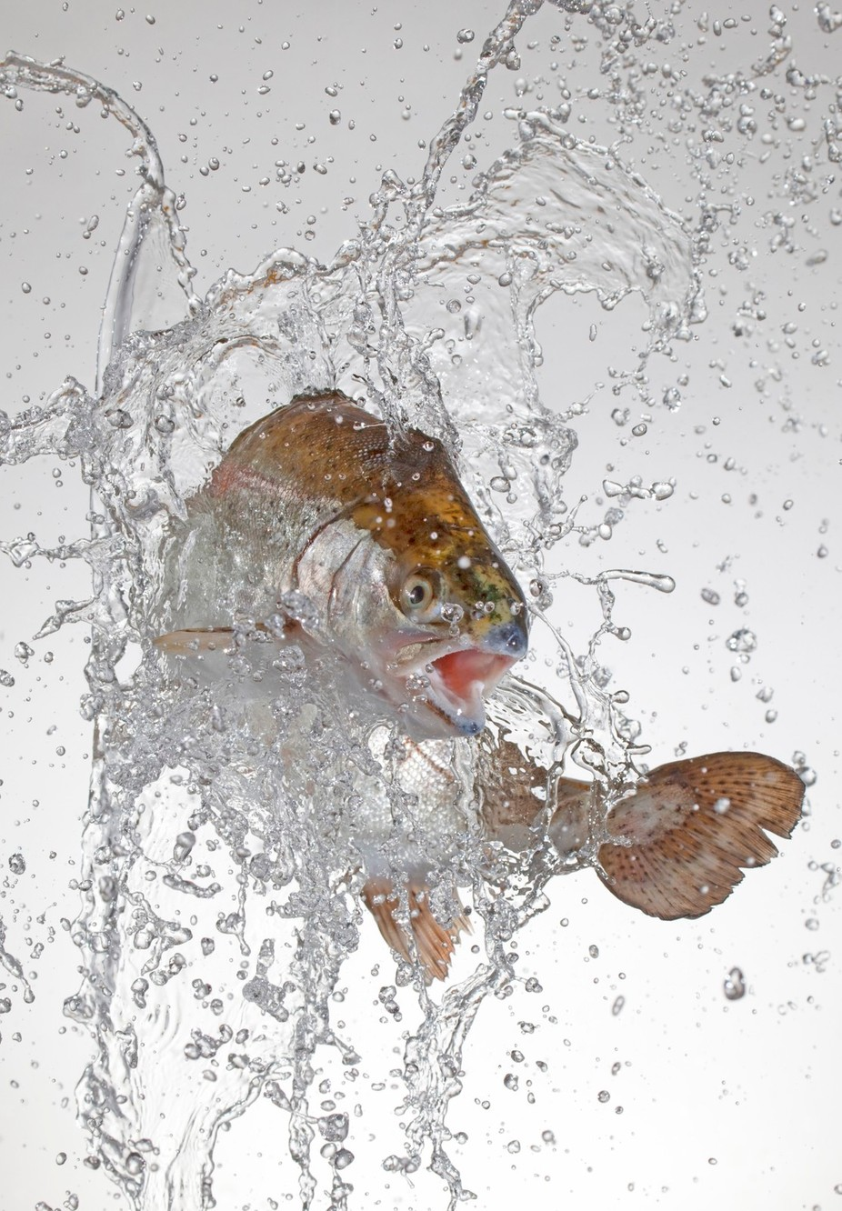 Rainbow trout by tomviggars - Experimental Photography Project