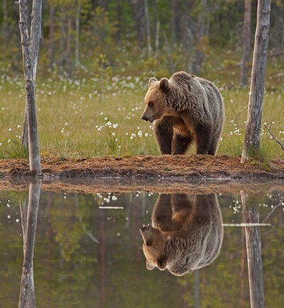 Brown bear & reflection