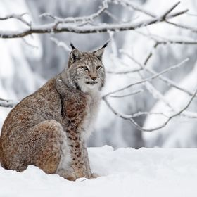 Lynx at a local wildlife preserve.