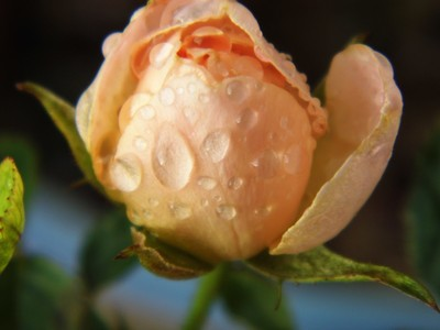 Water on a rose