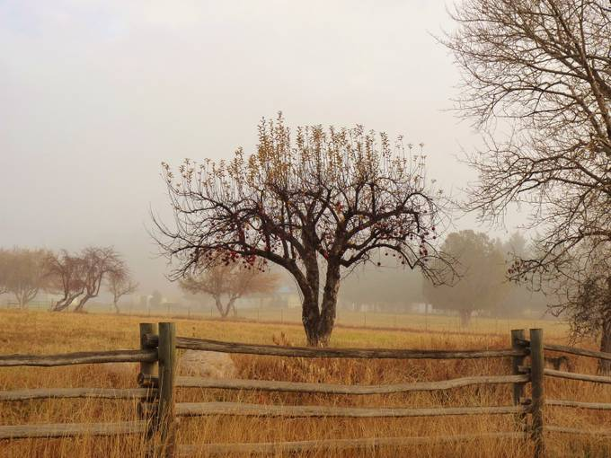 Apple Tree in the Fog by ThankYouPlease - Farms And Barns Photo Contest