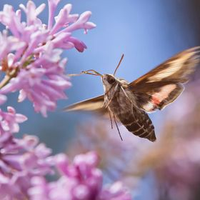 I have only seen Hummingbird Moths once on my property.  They look just like hummingbirds when they are flapping their wings.