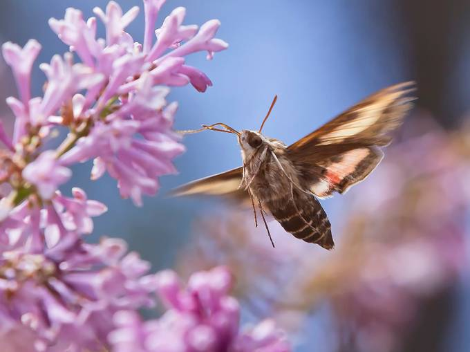Hummingbird Moth by suzanewhitney - Photos With Filters Photo Contest
