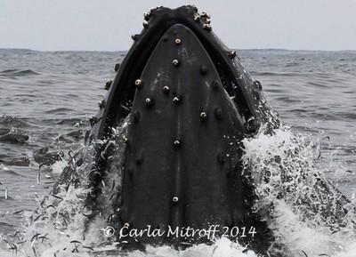 Hungry humpback whale