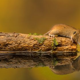 A little harvest mouse having a quick sip of water...