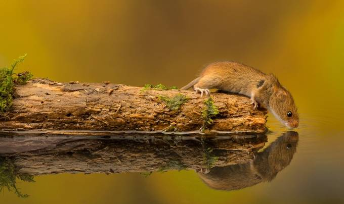 quick drink by bridgephotography - Small Wildlife Photo Contest
