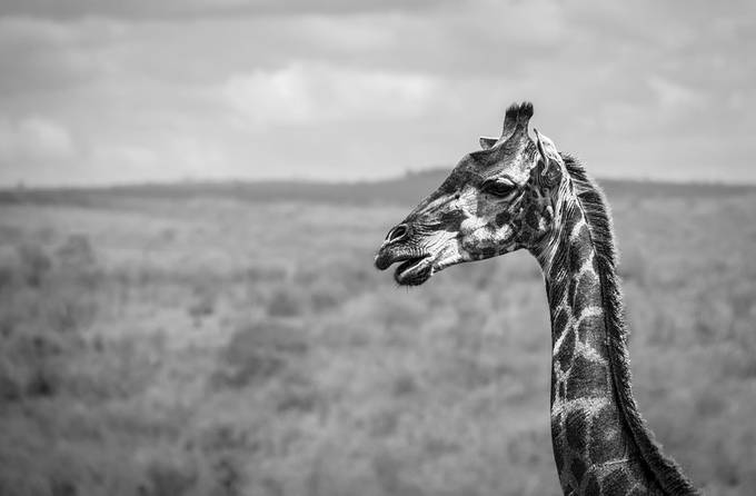 (BW) - Giraffe by syn3rgy - Animals In Black And White Photo Contest