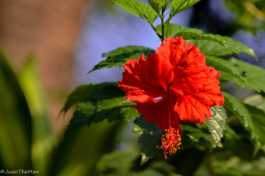 China Rose (Gumamela)