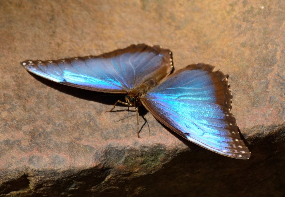 A large Blue Morpho Butterfly sunning itself on a rock. Shot was taken at the Ft. Worth Botanical...