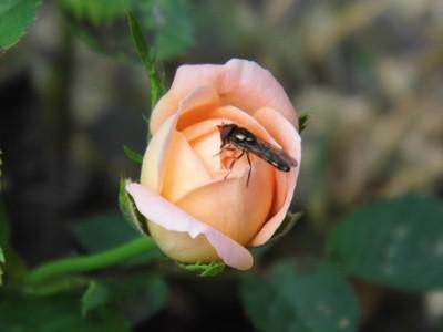 Bug on a Rose