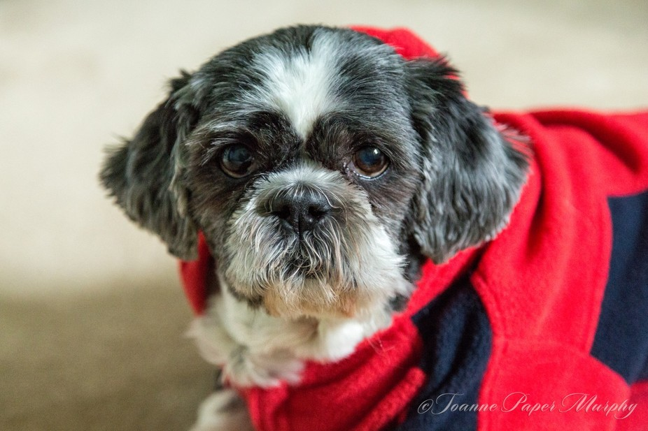 My son\'s dog Mason. He was over yesterday and it was quite cold and had his little warm jacket on...