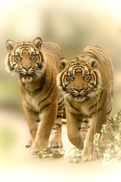 Twin Tiger Vision