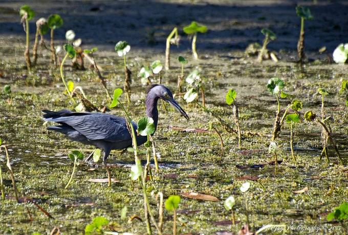 Taken with Nikon D5000 using AF-S Nikkor 70-300mm 1:4.5-5.6 G lens. Enhanced and resized using onOne Perfect Photo Suite 9.This Little Blue Heron had just caught a minnow (still in its beak).