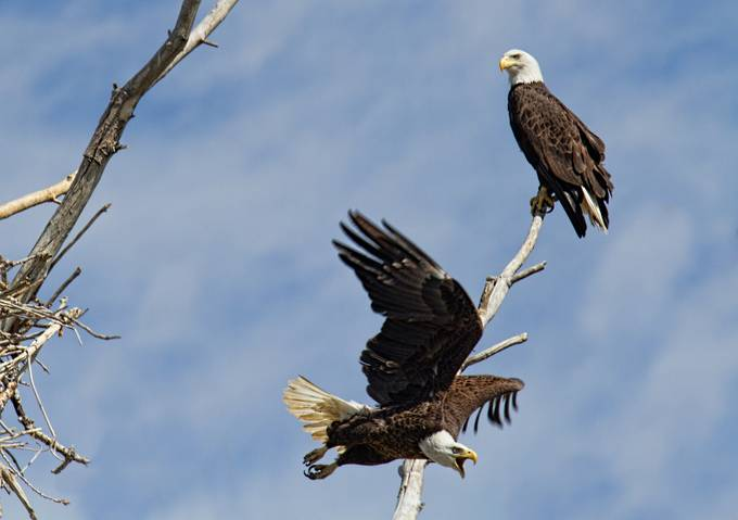 Homeland Defense by jimgarrison - Majestic Eagles Photo Contest