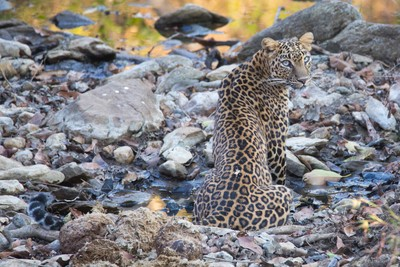 Leopard cooling off