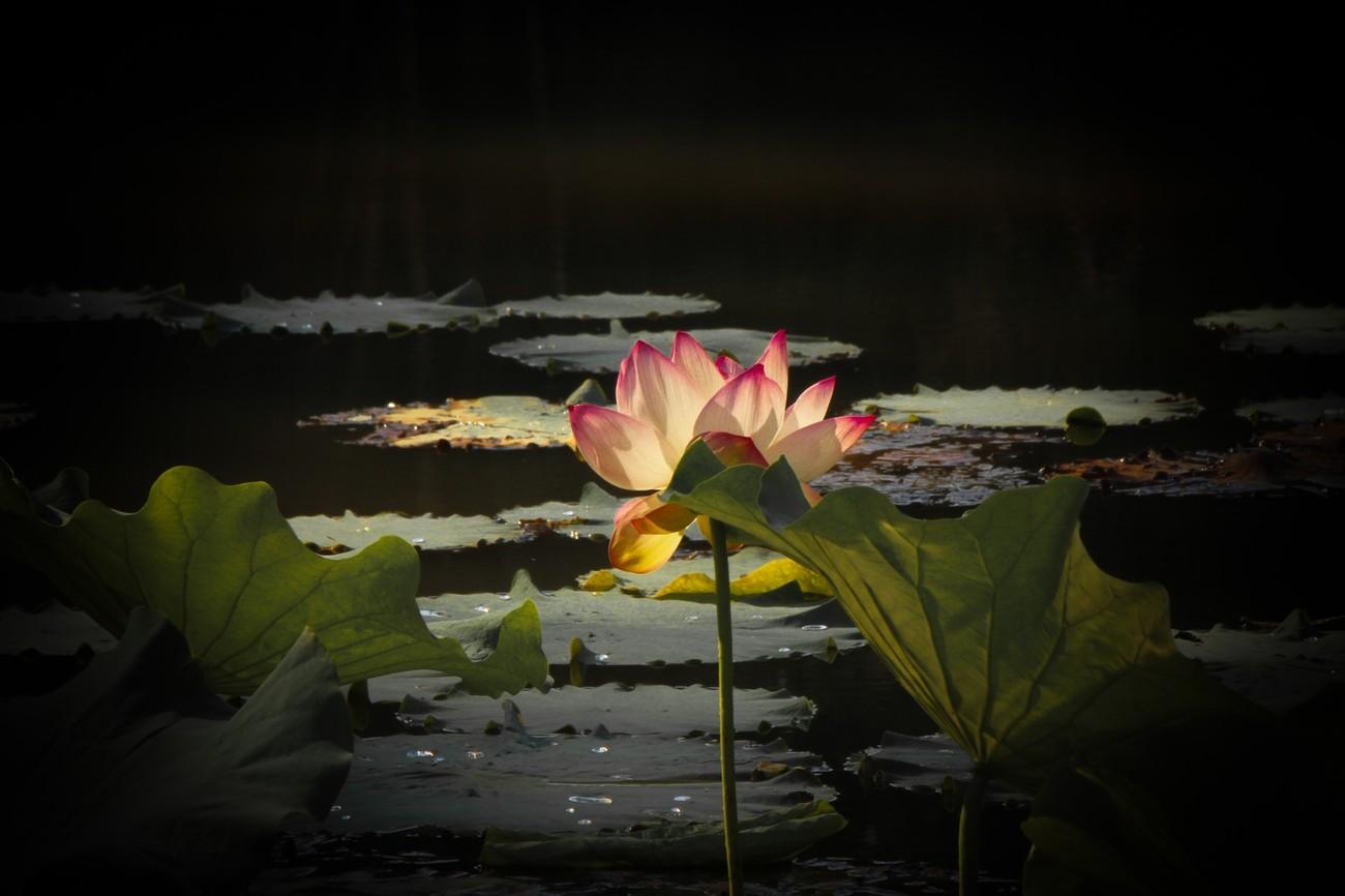 Lotus at Govinda Kunda