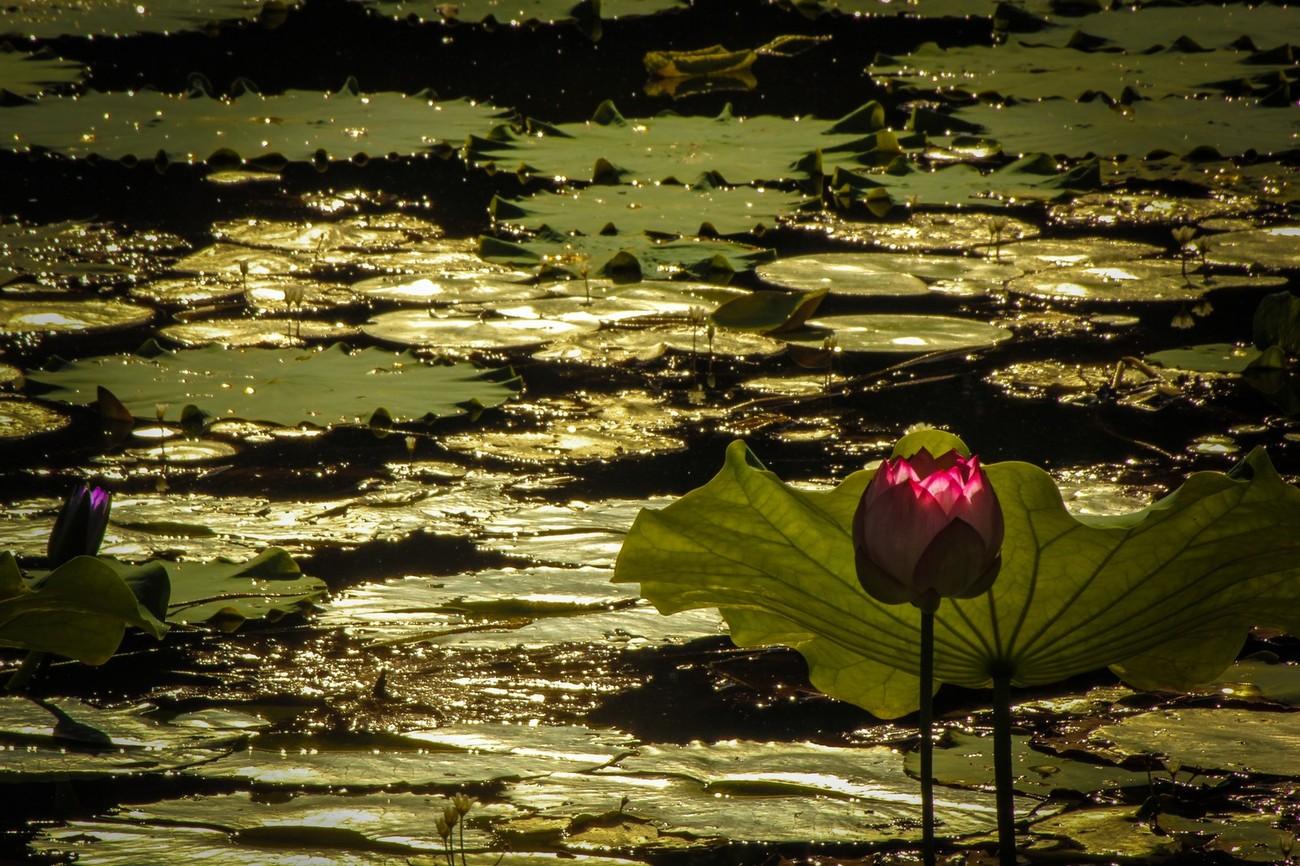 Lotus at Govinda Kunda2