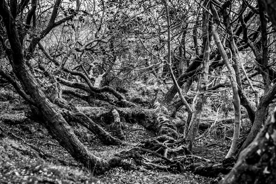 Spooky trees (at least in B&W) in the New Forest National Park, UK.