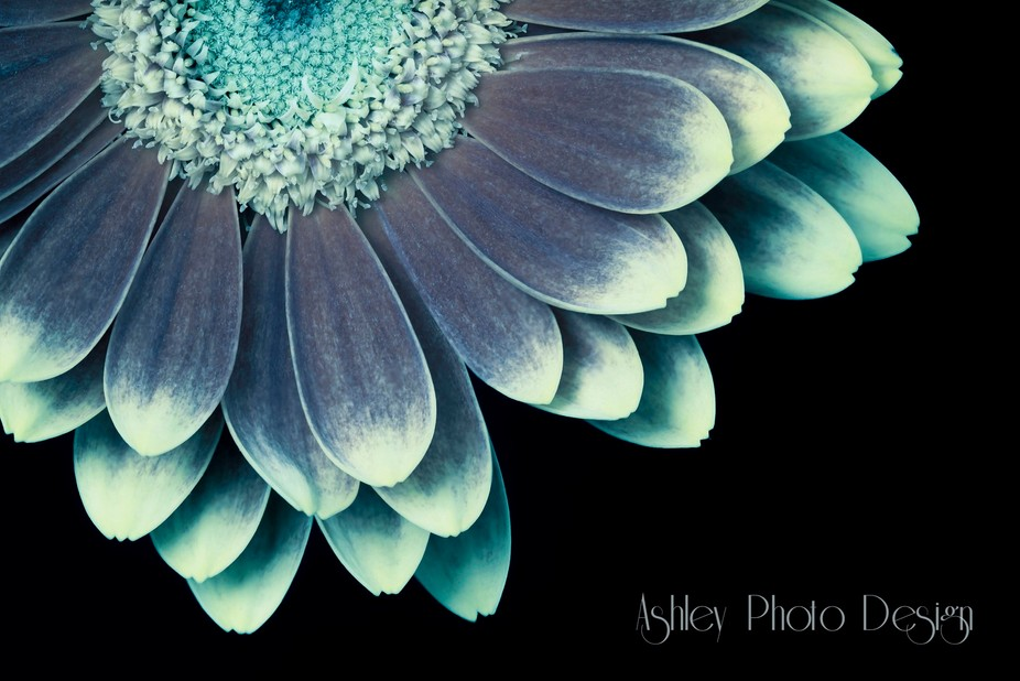 Macro photograph of Gerbera daisy. Photoshop work included focus stacking for sharpness throughou...
