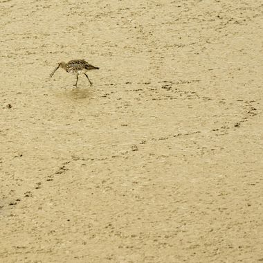 a Curlew on a wander for food in the soft silt at low tide.