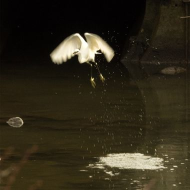 A split second take-off by a Little Egret