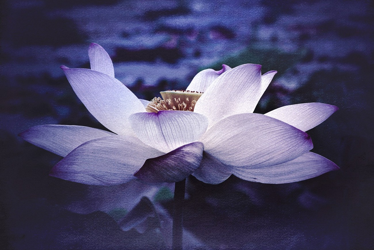 Lotus at Govinda Kunda1