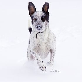 This dog loves to run and play in the snow. He was having a blast!