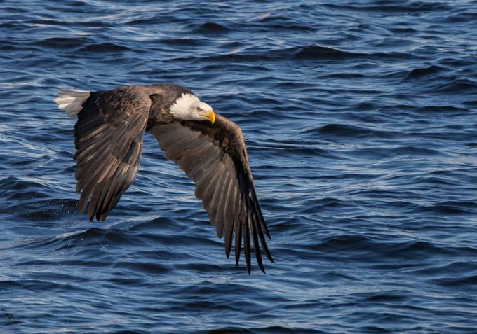 Bald Eagle in Flight by barbsandell - Monthly Pro Vol 21 Photo Contest