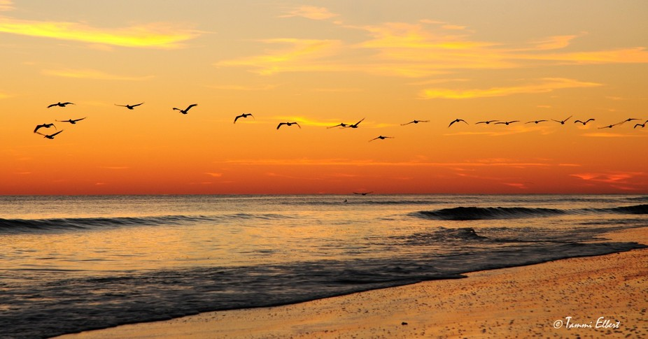 Pelicans flying at Sunset.